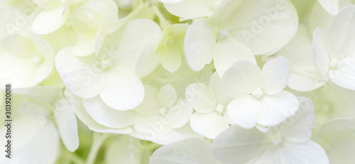 Tablou Canvas White hydrangea flowers panoramic border, banner, wedding romantic background