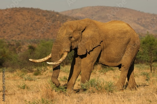 Photo Big and old Elephant male (Loxodonta africana) in Pilanesberg National Park (game reserve) going on the savanna with grass and green background
