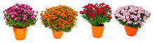 Collection Chrysanthemum Multi...