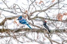 Two Birds Friends Perching Together With Blue Jay, Cyanocitta Cristata, And Downy Or Hairy Woodpecker Sitting On Oak Tree During Winter In Virginia