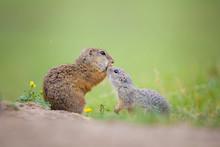 Cute European Ground Squirrels (Spermophilus Citellus, Ziesel)