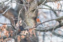 Blue Male Bluebird One Single Bird Sitting Perching On Oak Tree During Winter Rain In Virginia Bare Branch