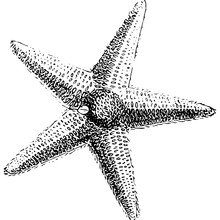 Starfish Sea Vector