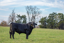 Black Angus Bull In Empty Field