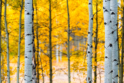 Aspen, Colorado rocky mountains foliage in autumn fall on Castle Creek scenic road with colorful yellow leaves on american aspen trees trunks forest in foreground
