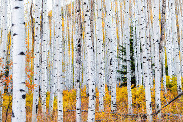 Fototapeta Brzoza Foliage in autumn fall on Castle Creek scenic road with colorful yellow leaves on american aspen trees trunks forest in foreground in Colorado rocky mountains