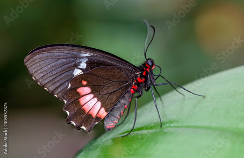 Fond de hotte en verre imprimé Papillon Closeup beautiful Great Mormon butterfly sitting on the flower.