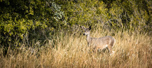 White Tail Deer In Tall Grass In Florida Canyon, Arizona
