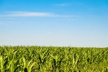 Green Corn Field Under Blue Sky