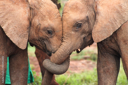Obraz na plátně Close-up of two baby elephant orphans with their trunks entwined in a display of friendship and affection
