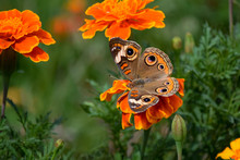 Buckeye Butterfly On Orange Marigold