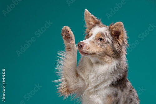 Obraz the dog waves its paw. Border Collie on a blue background. Pet in the studio - fototapety do salonu