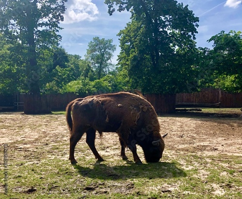 aurochs in zoo Canvas-taulu