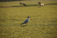 Lonely Bird On The Grass