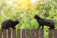 Two Black Cats On Wooden Fence...