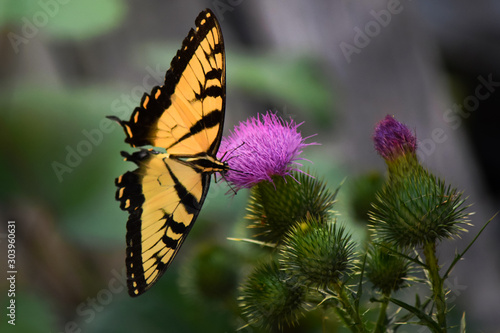 Yellow Tiger Swallowtail Butterfly on Purple Thistle