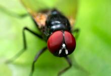 Macro Photo Of Black Blowfly On Green Leaf