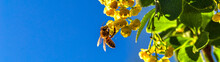 Honey Bee Collecting The Necta...