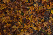 Autumn Leaves Decomposing On T...