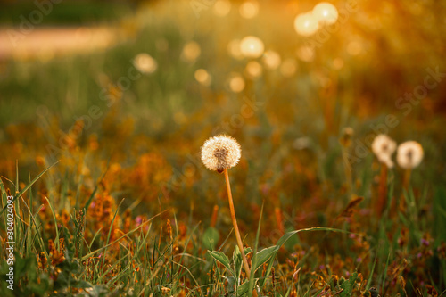 Wall Murals Spring Dandelion closeup macro. concept of medicinal herbs. Dandelion extract kills all types of cancer. space for text