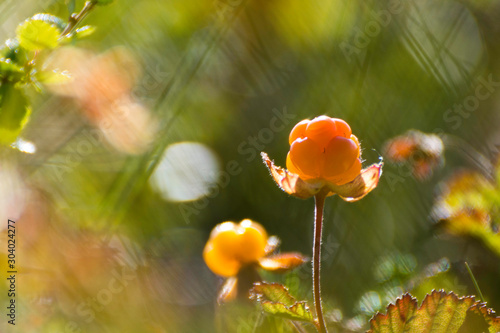 cloudberries - 304024277