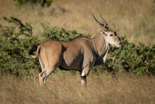 Eland Stands In Profile In Lon...
