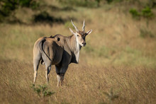 Eland Stands Turning Head To E...
