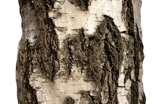 Part Of Birch Tree Trunk With Bark On Isolated Background. Textured Pattern Of Old Wood. Striped Scratched Rough Grunge Surface Or Structure