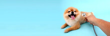 Cute Little Pomeranian Dog With Stethoscope As Veterinarian On Blue Background In Studio With Copy Space.