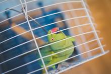 The Alexandrine Parakeet (Psit...