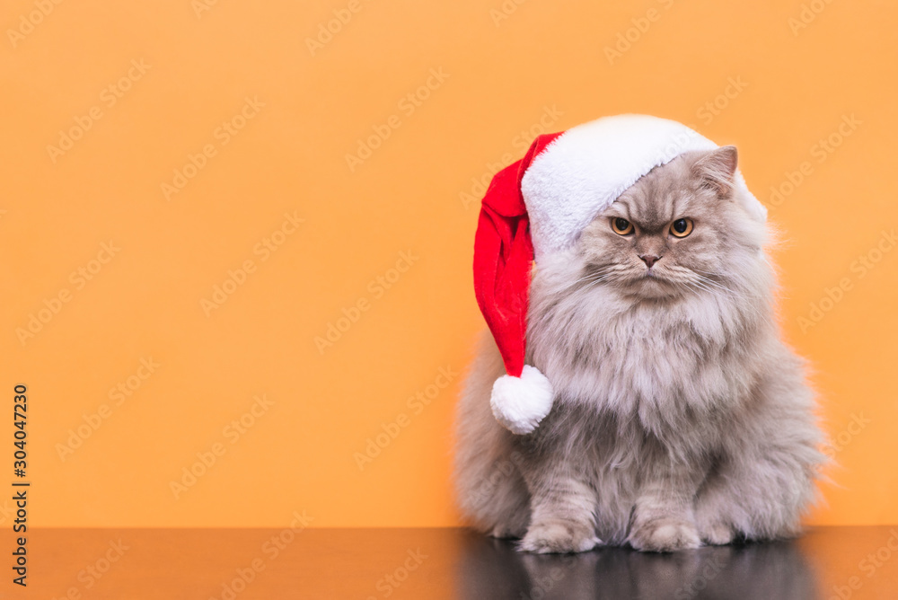 Fototapety, obrazy: Сute fluffy cat in a Christmas hat is isolated on an orange background, looking into the camera. Cat Santa in a Christmas hat on an orange background. Christmas concept. Copyspace