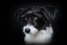 Cute Little Dog On Black Backg...