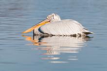 A Dalmatian Pelican Rests On T...