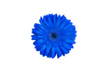 One Blue Gerbera Flower On Whi...