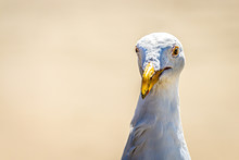 A Funnmy Portrait Of A Seagull...