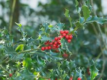 Ilex Aquifolium Or Holly Also ...