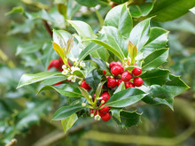 Ilex Aquifolium Or Holly Wient Woody Stems, Dark Green Leaves With Sharp Spines And Terminal Clusters Of White Or Yellowish Flowers Between Red Drupes Or Berries