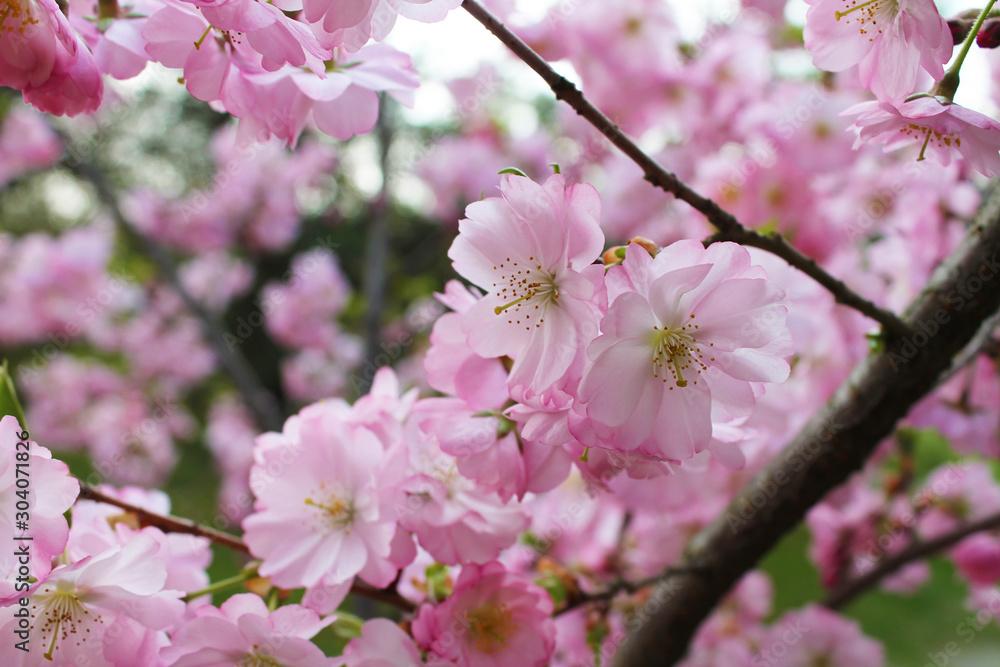 Fototapeta kwiat wiśni - obraz na płótnie