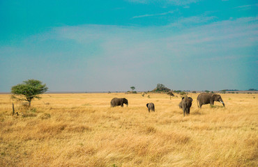 Many African elephants in the savannah are searching for food.