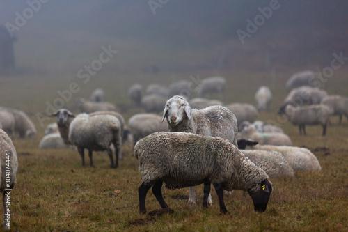 Fotografie, Obraz Schafherde im Nebel auf der Weide im Wald von Jonsdorf in Sachsen
