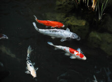 A Group Of Koi Fish Swimming I...