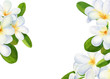 canvas print picture summer tropical flowers, plumeria on isolated white background, watercolor illustration, hand drawing