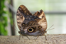 Two Brown Butterflies Mating O...