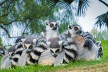 Funny Madakascar Lemurs  (Lemu...