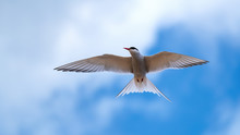 Arctic Tern Flying In A Cloudy Blue Sky Close Up With His Wings Outstretched And Looking To His Right