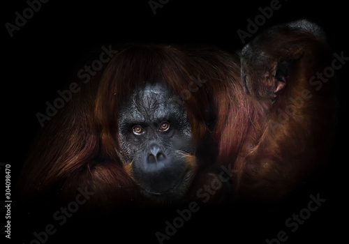 Photo phlegmatic orangutan with a raised hand on a dark background, as it were, offers to do arm wrestling