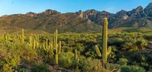 Saguaro Desert Landscape - Cat...