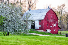 Old Red Barn And Flowering Tree