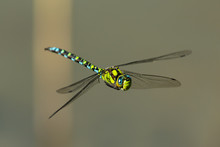 A Blue Hawker Dragonfly In Flight On A Sunny Day In Summer