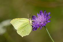 A Common Brimstone Butterfly S...